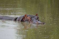 flodhästsimning Arkivbilder