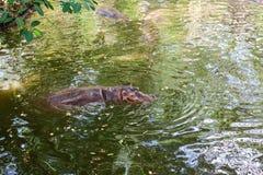 Flodhästsimning i vatten Arkivbilder