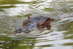 Flodhästsimning i vattnet Arkivfoton
