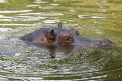 Flodhästsimning i vattnet Arkivbild