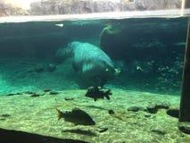 Flodhästsimning med fisken omkring royaltyfri bild