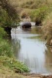 Flodhästvadande Royaltyfri Fotografi