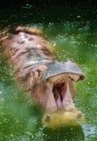 Flodhäst Royaltyfria Foton