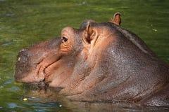 Flodhäst (flodhästamphibius) Arkivbild