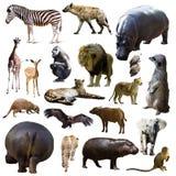 Flodhäst och andra afrikanska djur isolerat Royaltyfri Fotografi