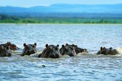 flodhästar Arkivfoto