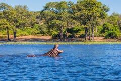 Flodhästen i floden Royaltyfria Bilder