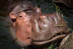 Flodhästsimning i vatten och söka eftermat Arkivbilder