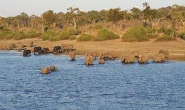 Flodkorsning elefanter i Chobe, Botswana royaltyfri bild