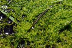 Flodmörker - gröna alger i en naturlig miljö Naturligt grässlut upp arkivfoto