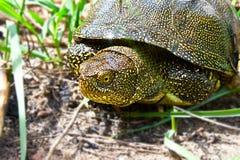 flodsköldpadda fotografering för bildbyråer