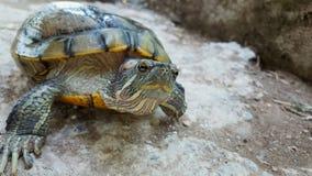 Flodsköldpadda Arkivbild