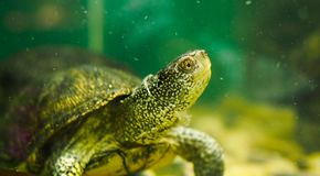 flodsköldpadda i ett akvarium arkivbilder
