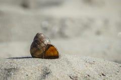 Flodskal på den sandiga kusten Arkivfoto