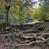 Flodstrandträdet rotar Royaltyfria Bilder