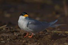 Flodtärnafågel Royaltyfri Fotografi