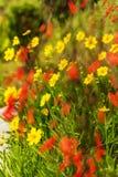 Floers amarelos das margaridas do Coreopsis com as flores vermelhas borradas fotografia de stock royalty free