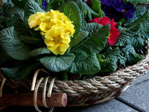 Floers in a basket. Littke flower pots in a basket Royalty Free Stock Image