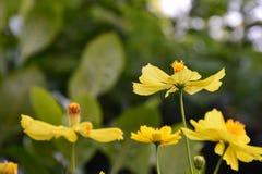 Floewer jaune Image libre de droits