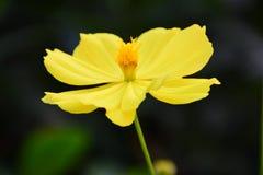 Floewer jaune Photo libre de droits
