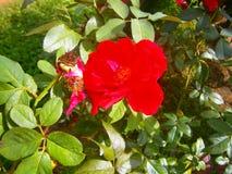 Floewr красной розы природы Шри-Ланка Стоковая Фотография RF