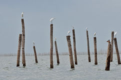 The flog of Great Egret, Thailand. The flog of Great Egret, inner gulf of Thai.Thailand Stock Image