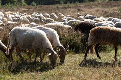 A flok of the Drenthe Heath Sheep, grazing. The Drenthe Heath Sheep (Drents Heideschaap, Dutch) is a domesticated breed of sheep originating in the Netherlands Royalty Free Stock Image