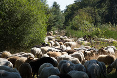 A flok of the Drenthe Heath Sheep, grazing royalty free stock photos