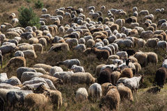 A flok of the Drenthe Heath Sheep, grazing Stock Photography