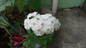 Floksów colours roślina zdjęcie stock