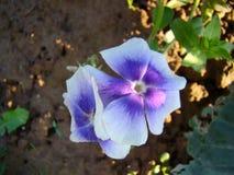 Floksów kwiaty Fotografia Stock