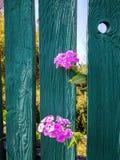 Floks kwitnie zerknięcie out od ogrodzenia za fotografia stock