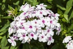 Floksa paniculata ` biel Przygląda się ` Obrazy Stock