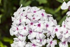 Floksa paniculata ` biel Przygląda się ` Zdjęcie Royalty Free