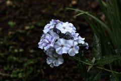 Floksy Ogrodowy kwiat Obrazy Stock