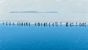 A flolck of birds on the ice. Royalty Free Stock Photo