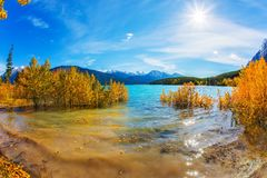 Flood of Abraham lake. Autumn flood of Abraham lake. Artificial Abraham lake reflects the golden foliage of aspen and birches. Concept of active, ecological and stock images