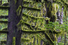 Flood Falls Hope BC Canada. Fraser Valley Rain Forest  Light shines through the Spanish Moss Royalty Free Stock Photos