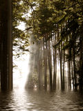Flood in the forest. Summer foggy morning alley Stock Photos