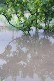 Flood garden. Vine flood after a heavy rain Stock Images
