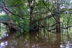 Flooded Amazon Rain Forest Royalty Free Stock Photos