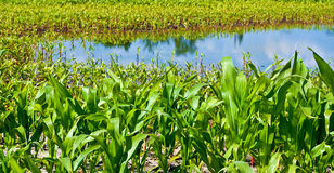 Flooded corn field - damaged cultivation. Stock Photography