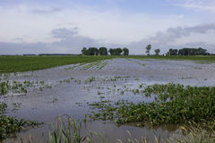 Flooded corn field. Stock Photos