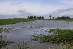 Flooded corn field. Stock Photos