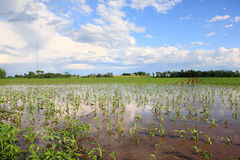 Flooded Cornfield Royalty Free Stock Image