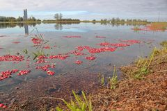 Flooded Cranberry Crop Stock Photography