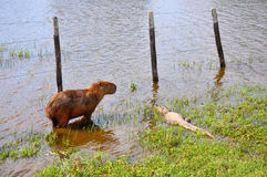 Flooded farm with capibara and caiman, Pantanal, Mato Grosso (Br Stock Images