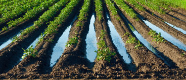 Flooded field with potatoes plants - rainy spring Stock Image