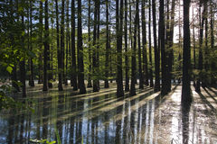 Flooded forest Royalty Free Stock Image