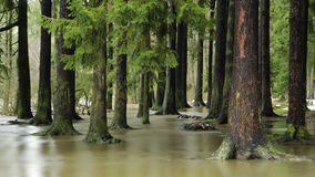 Flooded forest. Flooded spruce forest in winter stock photography